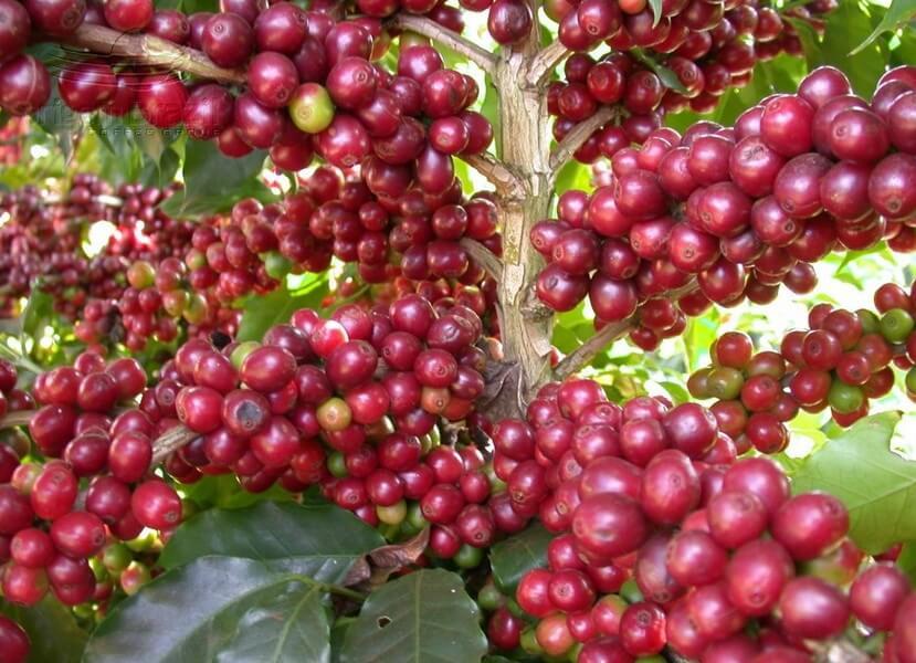 27.Giống cà phê phổ biến tại Việt Nam