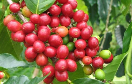 Cà phê Typica
