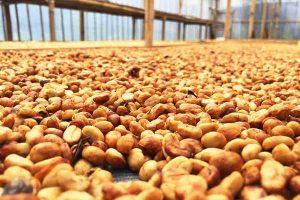 sơ chế cà phê Arabica
